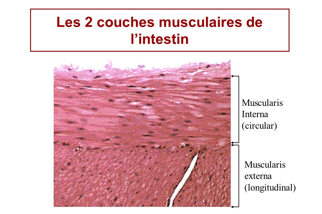 Muscularis Interna (circular) Muscularis externa (longitudinal) Les 2 couches musculaires de lintestin