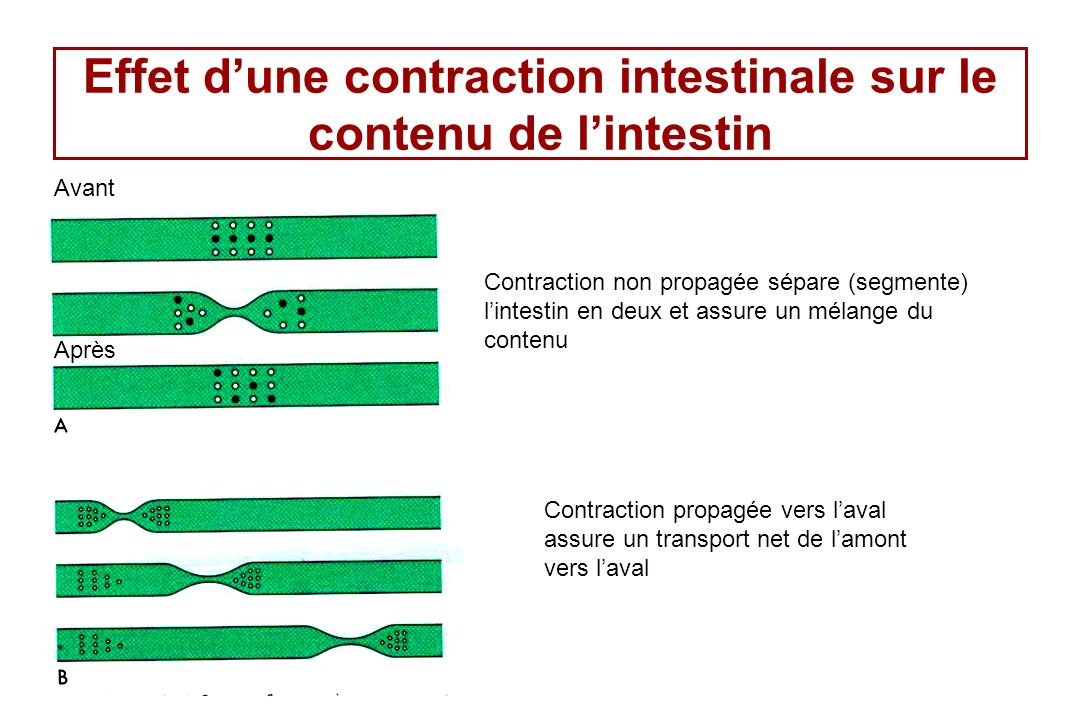 Effet dune contraction intestinale sur le contenu de lintestin Contraction non propagée sépare (segmente) lintestin en deux et assure un mélange du co