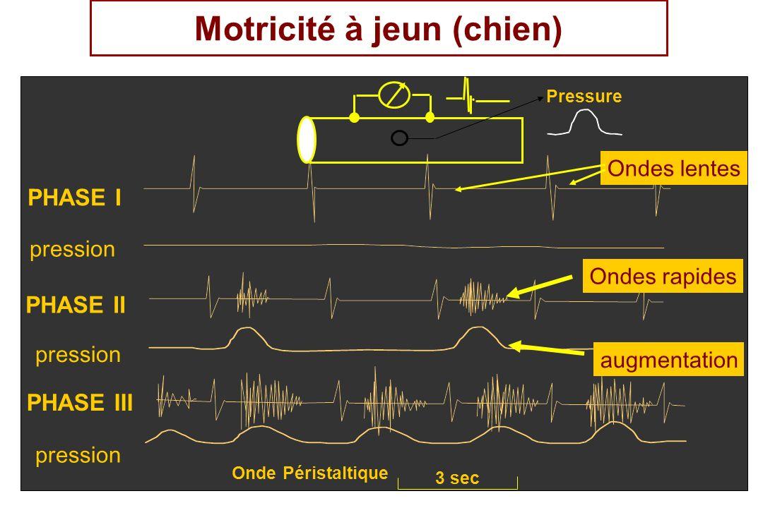 PHASE I PHASE II PHASE III Pressure Onde Péristaltique 3 sec Motricité à jeun (chien) Ondes lentes pression Ondes rapides augmentation