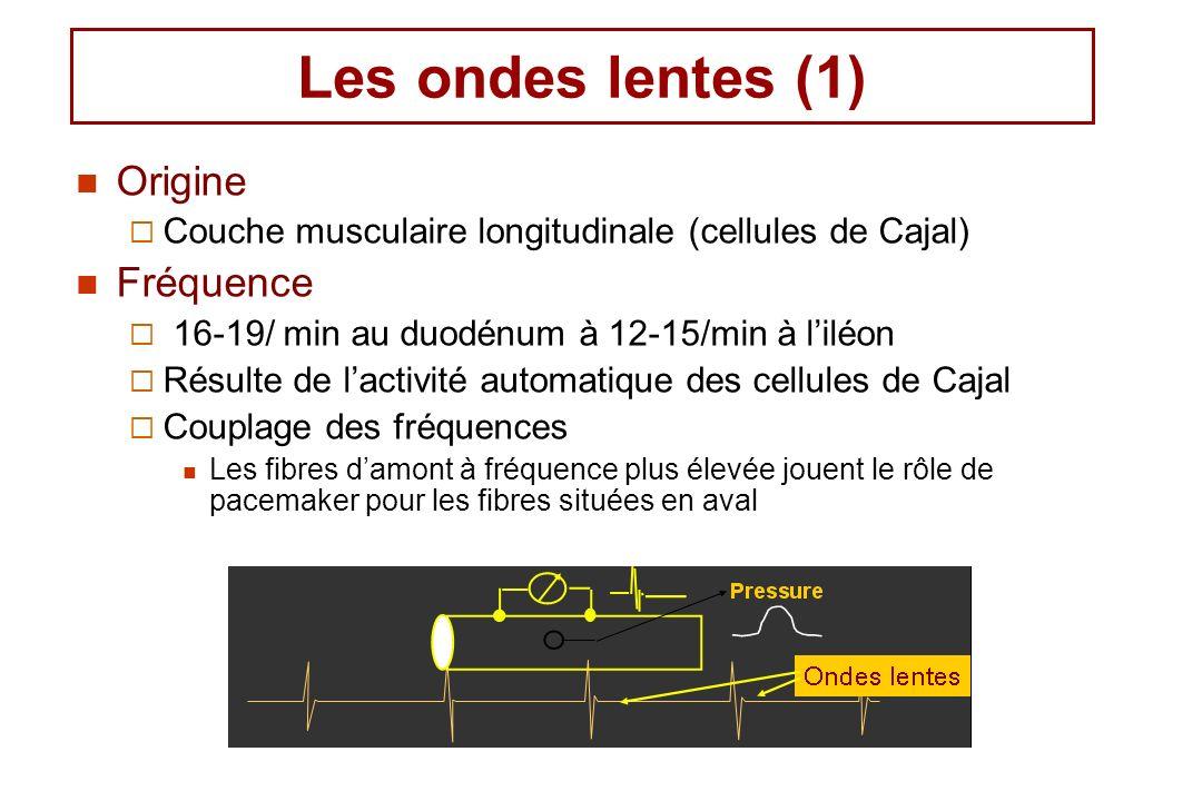 Les ondes lentes (1) Origine Couche musculaire longitudinale (cellules de Cajal) Fréquence 16-19/ min au duodénum à 12-15/min à liléon Résulte de lact