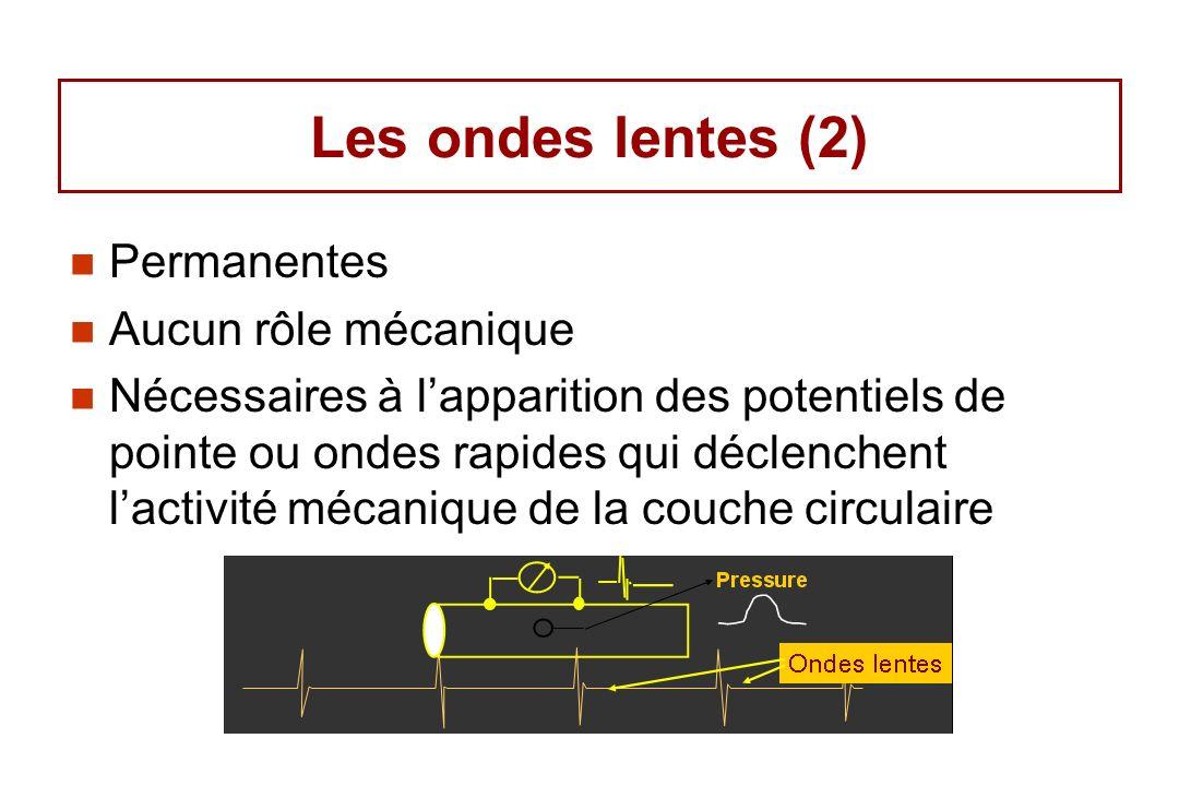 Les ondes lentes (2) Permanentes Aucun rôle mécanique Nécessaires à lapparition des potentiels de pointe ou ondes rapides qui déclenchent lactivité mé