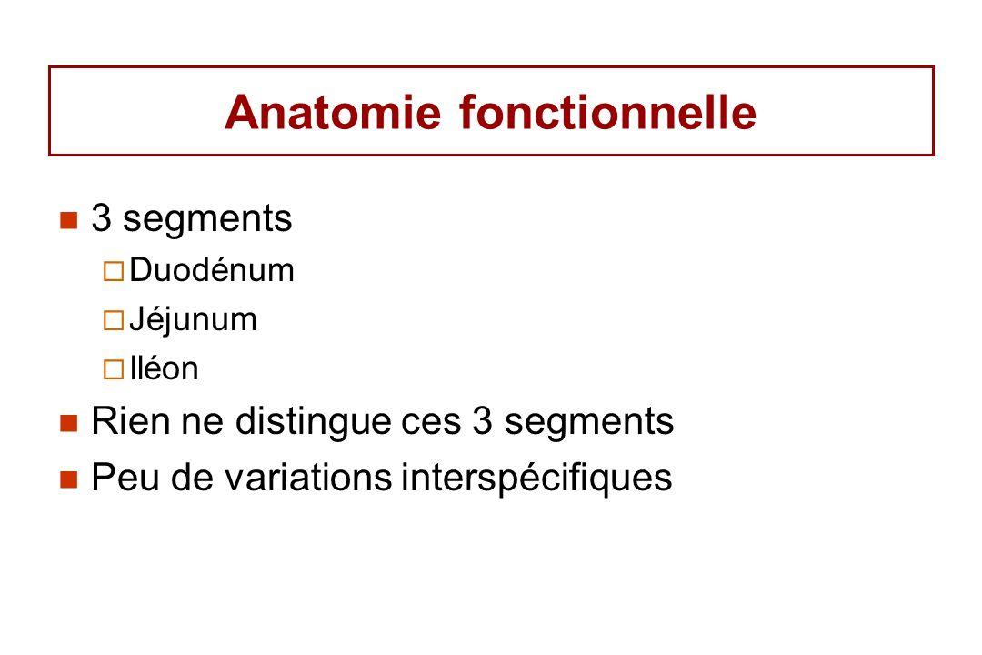 Anatomie fonctionnelle 3 segments Duodénum Jéjunum Iléon Rien ne distingue ces 3 segments Peu de variations interspécifiques