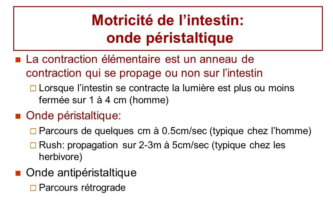 Motricité de lintestin: onde péristaltique La contraction élémentaire est un anneau de contraction qui se propage ou non sur lintestin Lorsque lintest