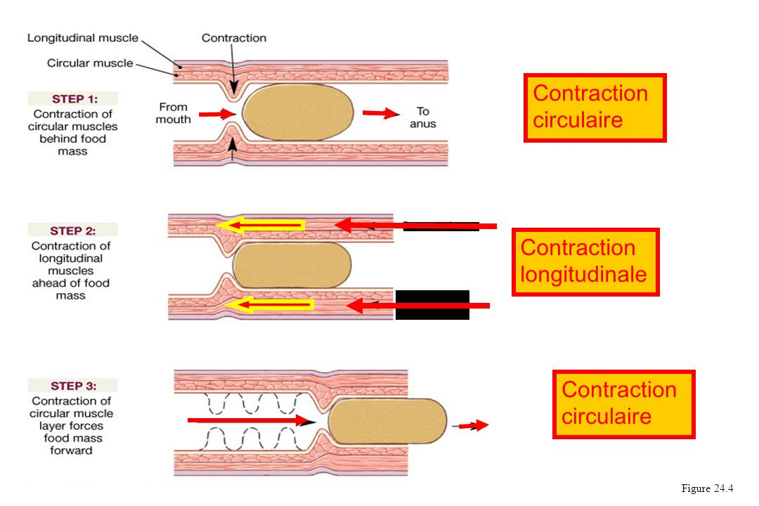 Figure 24.4 Contraction circulaire Contraction longitudinale Contraction circulaire