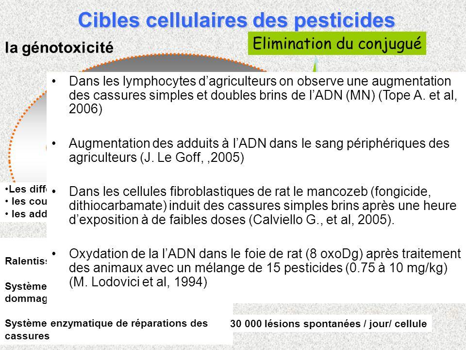 Elimination du conjugué les systèmes de détoxification pesticides Dommages à lADN la génotoxicité REPARATION ADN Ralentissement du cycle cellulaire Sy