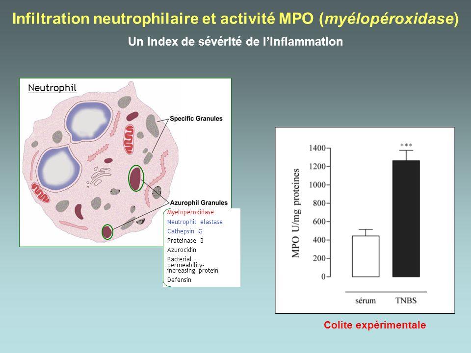 Neutrophil Myeloperoxidase Neutrophil elastase Cathepsin G Proteinase 3 Azurocidin Bacterial permeability- increasing protein Defensin Infiltration ne