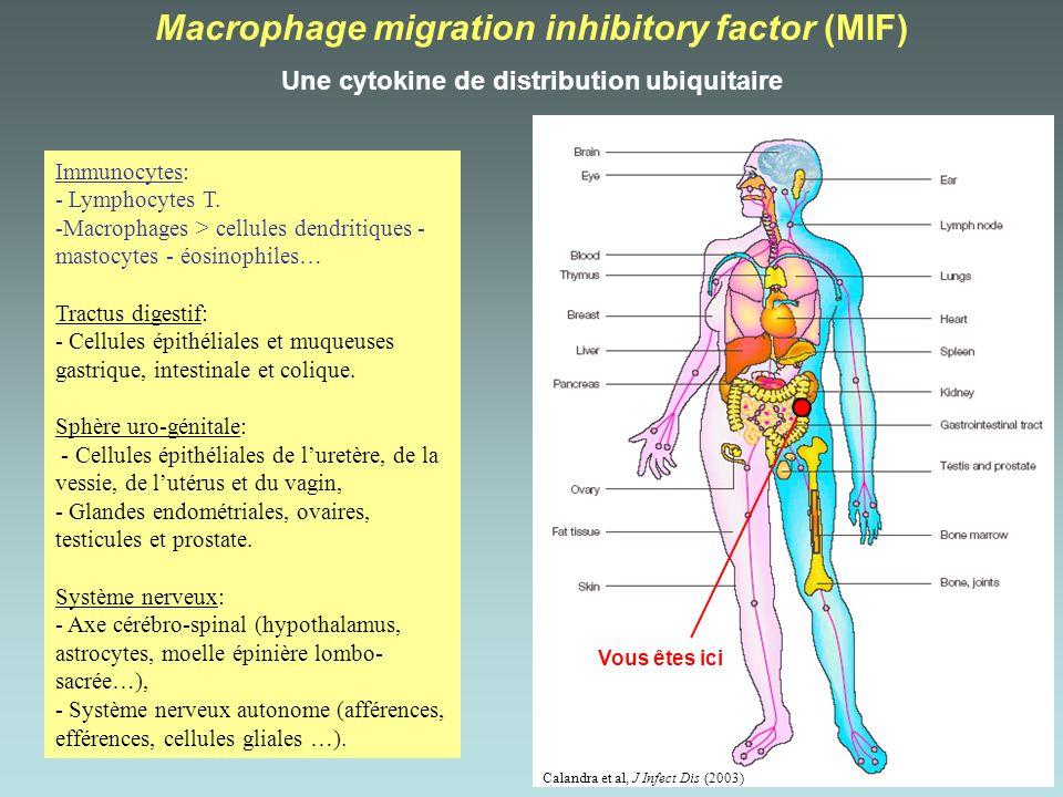 Calandra et al, J Infect Dis (2003) Macrophage migration inhibitory factor (MIF) Une cytokine de distribution ubiquitaire Immunocytes: - Lymphocytes T