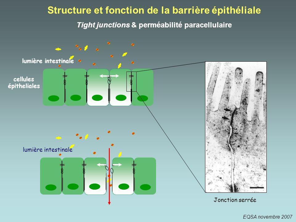 Jonction serrée lumière intestinale Structure et fonction de la barrière épithéliale Tight junctions & perméabilité paracellulaire cellules épithelial