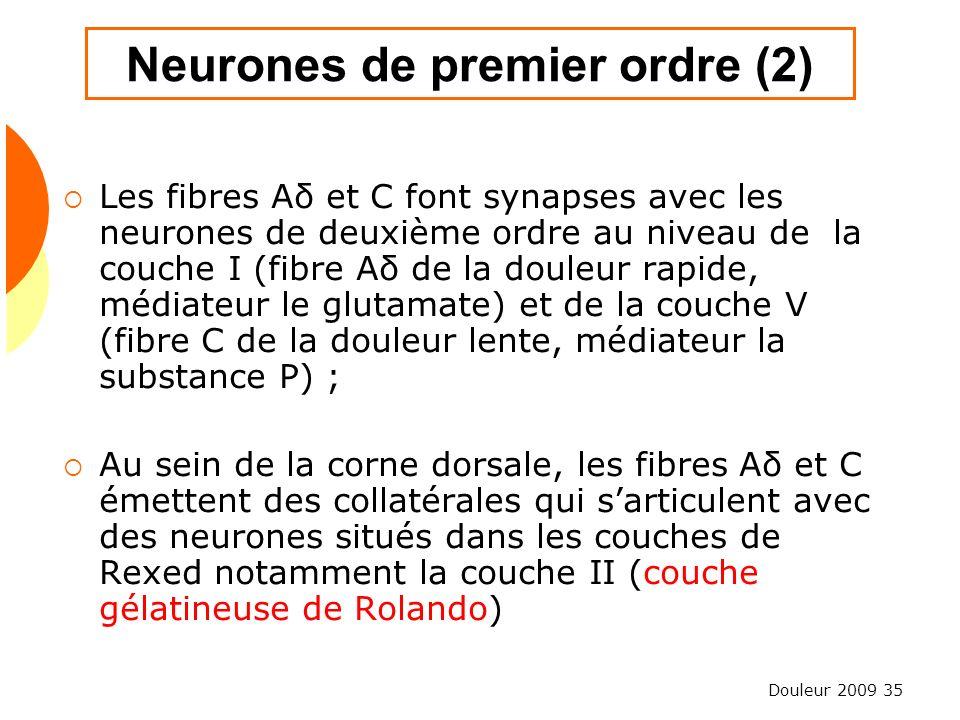 Douleur 2009 35 Neurones de premier ordre (2) Les fibres Aδ et C font synapses avec les neurones de deuxième ordre au niveau de la couche I (fibre Aδ