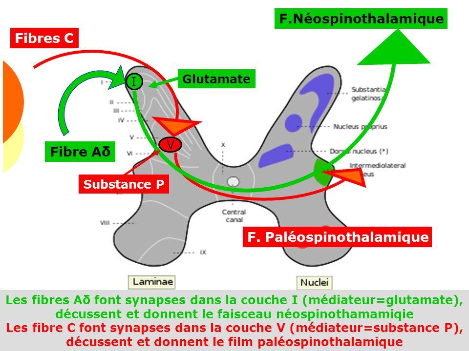 Douleur 2009 36 F.Néospinothalamique V I Fibre Aδ Fibres C F. Paléospinothalamique Glutamate Substance P Les fibres Aδ font synapses dans la couche I