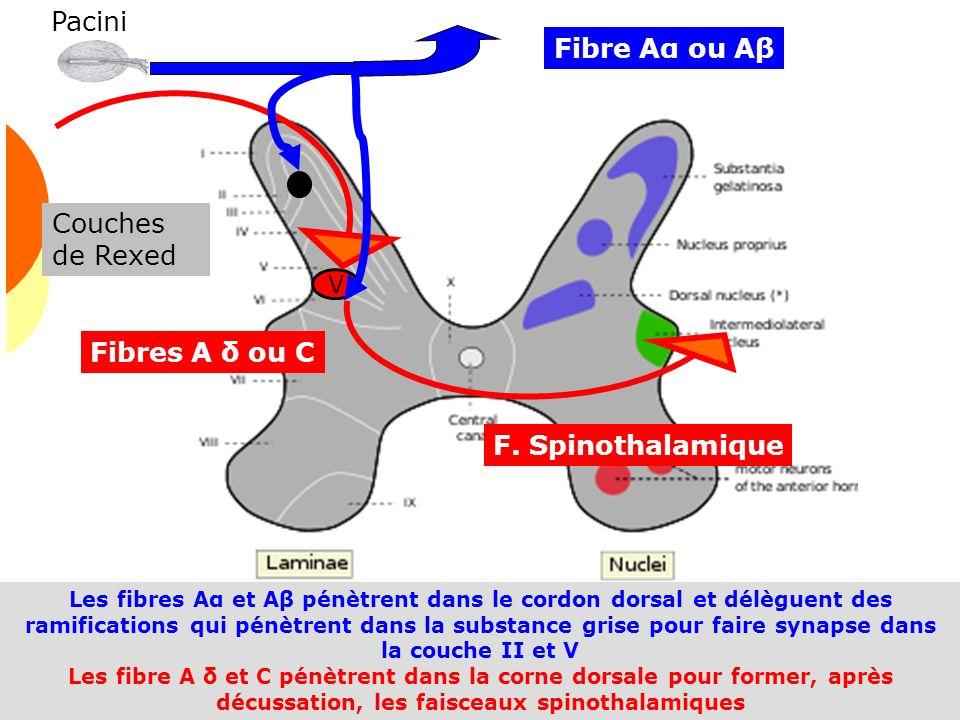 Douleur 2009 58 Les fibres Aα et Aβ pénètrent dans le cordon dorsal et délèguent des ramifications qui pénètrent dans la substance grise pour faire sy