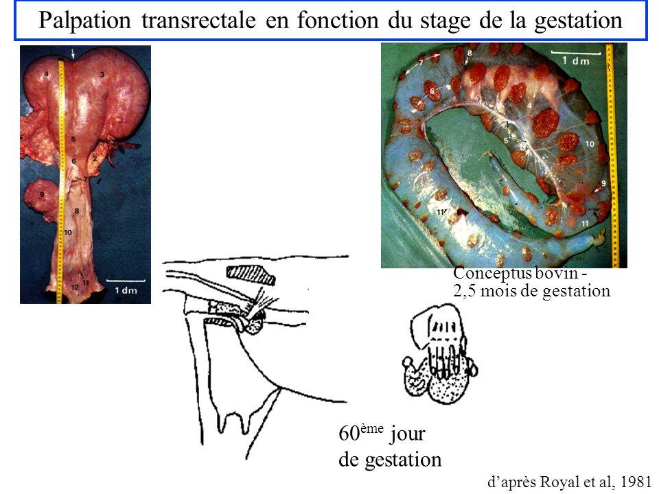 Palpation transrectale en fonction du stage de la gestation 60 ème jour de gestation daprès Royal et al, 1981 Conceptus bovin - 2,5 mois de gestation