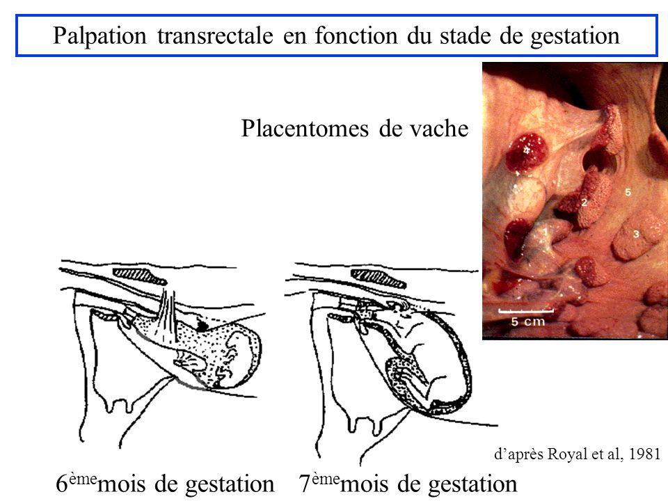 daprès Royal et al, 1981 6 ème mois de gestation 7 ème mois de gestation Palpation transrectale en fonction du stade de gestation daprès Royal et al,