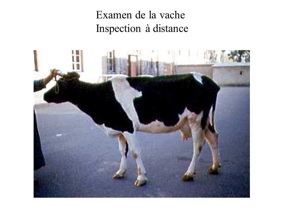 Vulve et périnée de vache Vulve et région périnéale de la vache