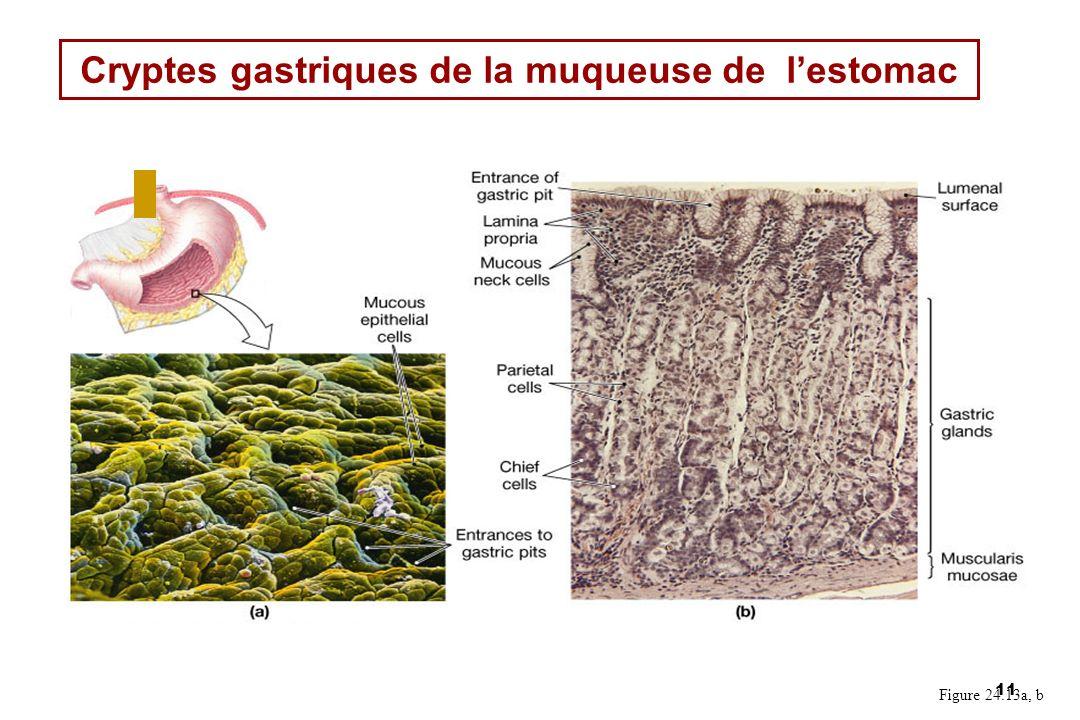 11 Cryptes gastriques de la muqueuse de lestomac Figure 24.13a, b