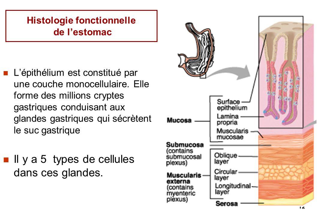 12 Histologie fonctionnelle de lestomac Lépithélium est constitué par une couche monocellulaire. Elle forme des millions cryptes gastriques conduisant