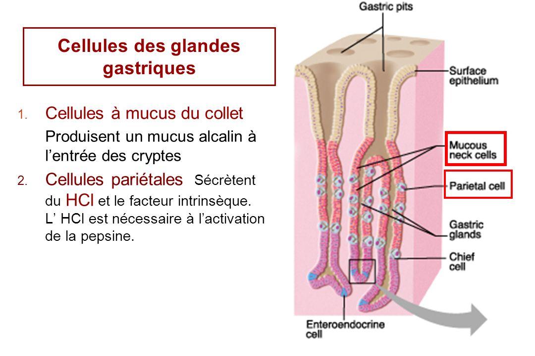 13 1. Cellules à mucus du collet Produisent un mucus alcalin à lentrée des cryptes 2. Cellules pariétales Sécrètent du HCl et le facteur intrinsèque.