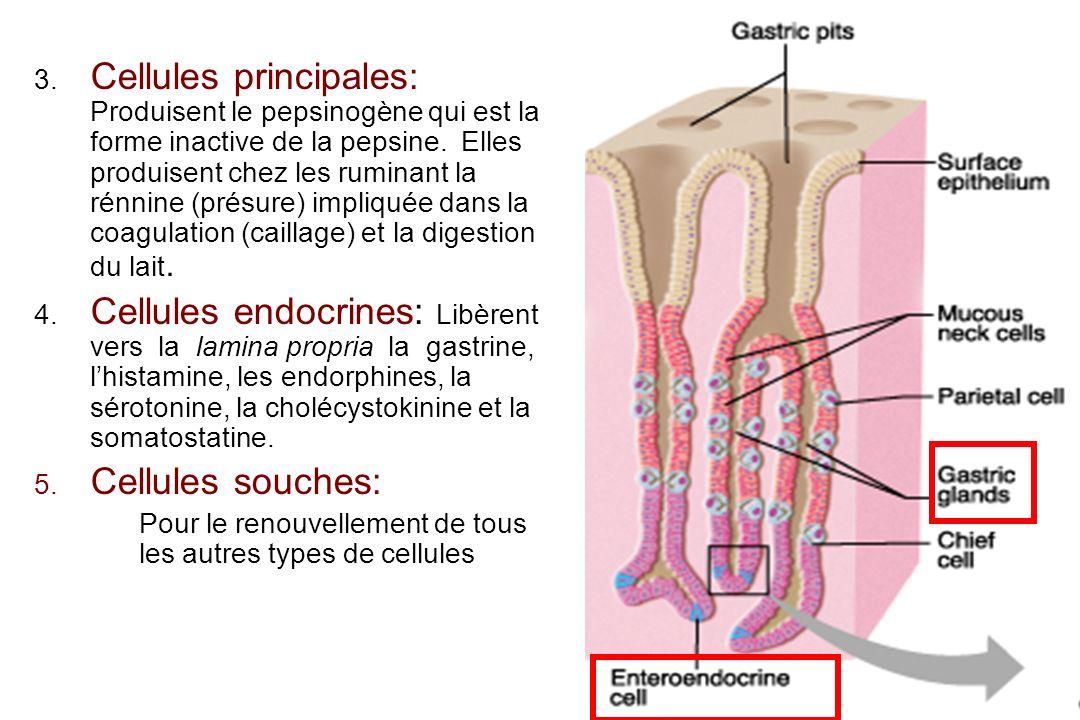 14 3. Cellules principales: Produisent le pepsinogène qui est la forme inactive de la pepsine. Elles produisent chez les ruminant la rénnine (présure)