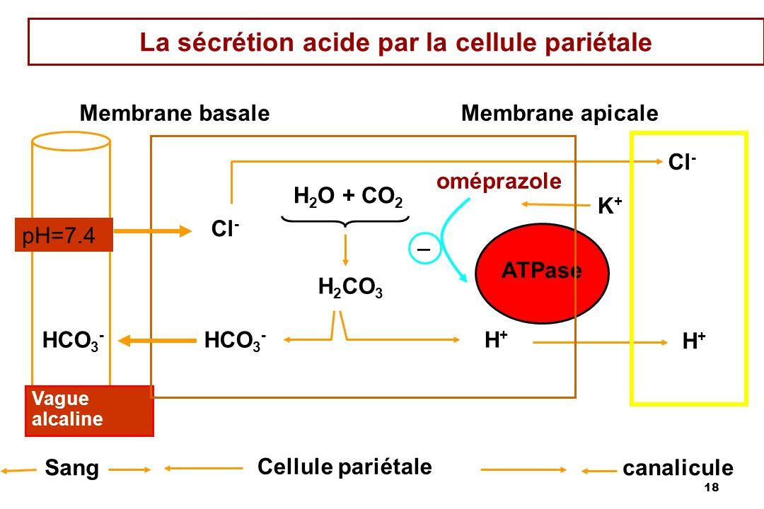 18 La sécrétion acide par la cellule pariétale HCO 3 - Vague alcaline Sang Cellule pariétale canalicule Membrane basaleMembrane apicale H+H+ HCO 3 - H
