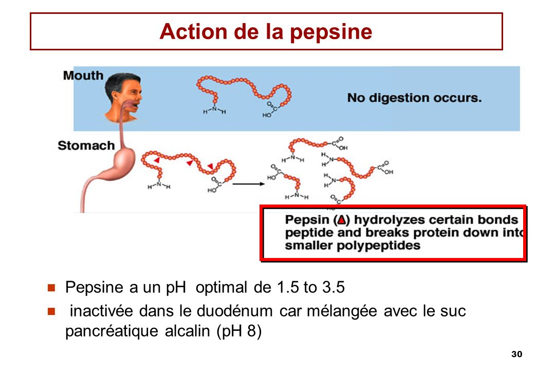 30 Action de la pepsine Pepsine a un pH optimal de 1.5 to 3.5 inactivée dans le duodénum car mélangée avec le suc pancréatique alcalin (pH 8)