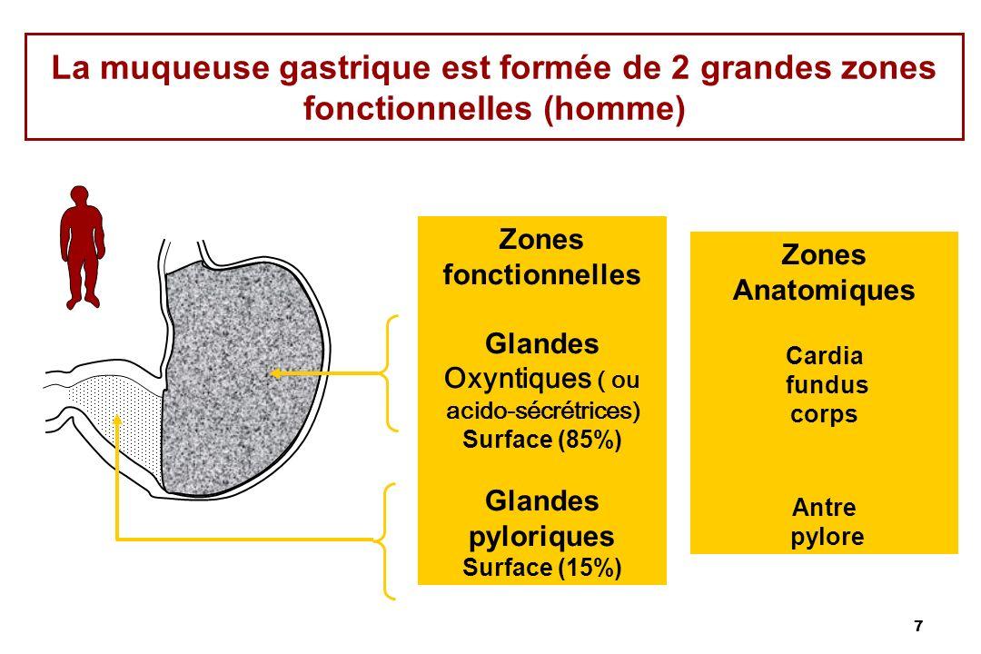7 La muqueuse gastrique est formée de 2 grandes zones fonctionnelles (homme) Zones fonctionnelles Glandes Oxyntiques ( ou acido-sécrétrices) Surface (