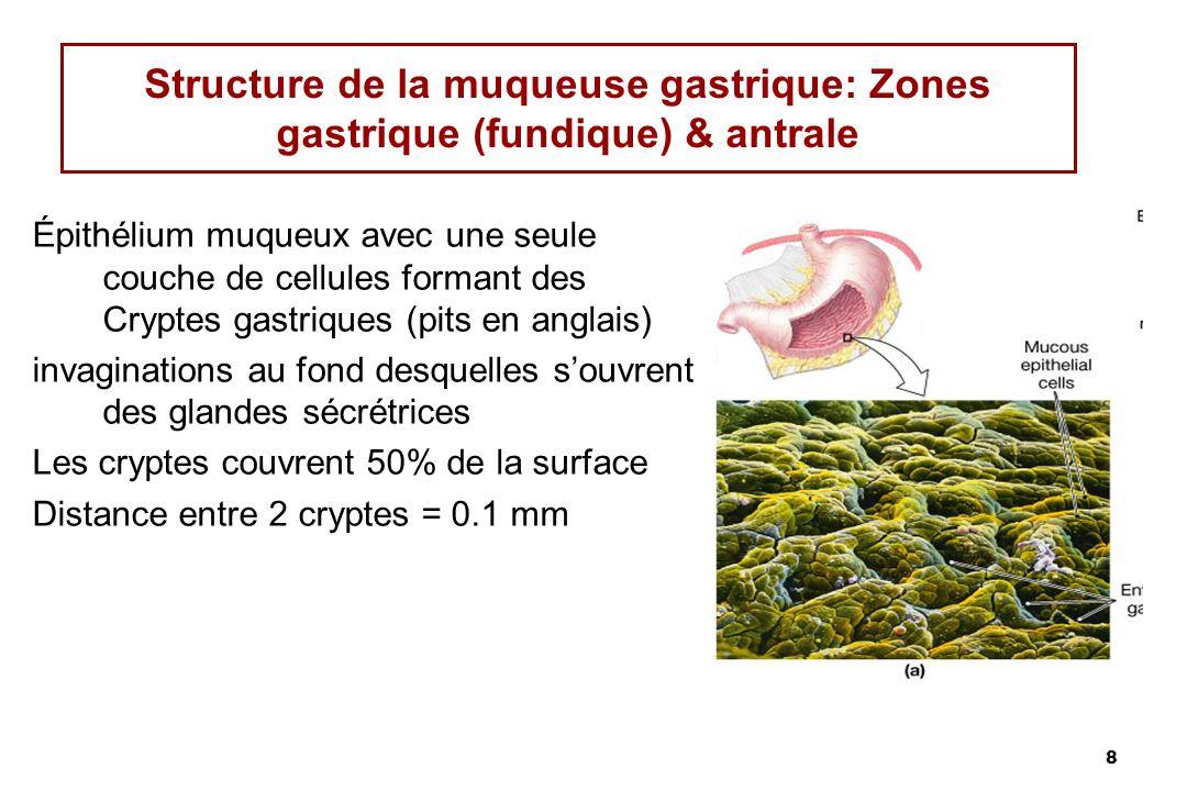 8 Structure de la muqueuse gastrique: Zones gastrique (fundique) & antrale Épithélium muqueux avec une seule couche de cellules formant des Cryptes ga