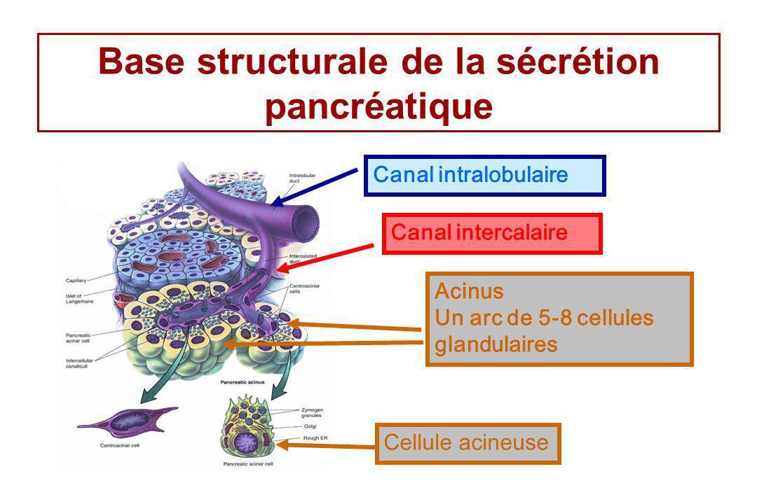 Base structurale de la sécrétion pancréatique Acinus Un arc de 5-8 cellules glandulaires Canal intercalaire Canal intralobulaire Cellule acineuse