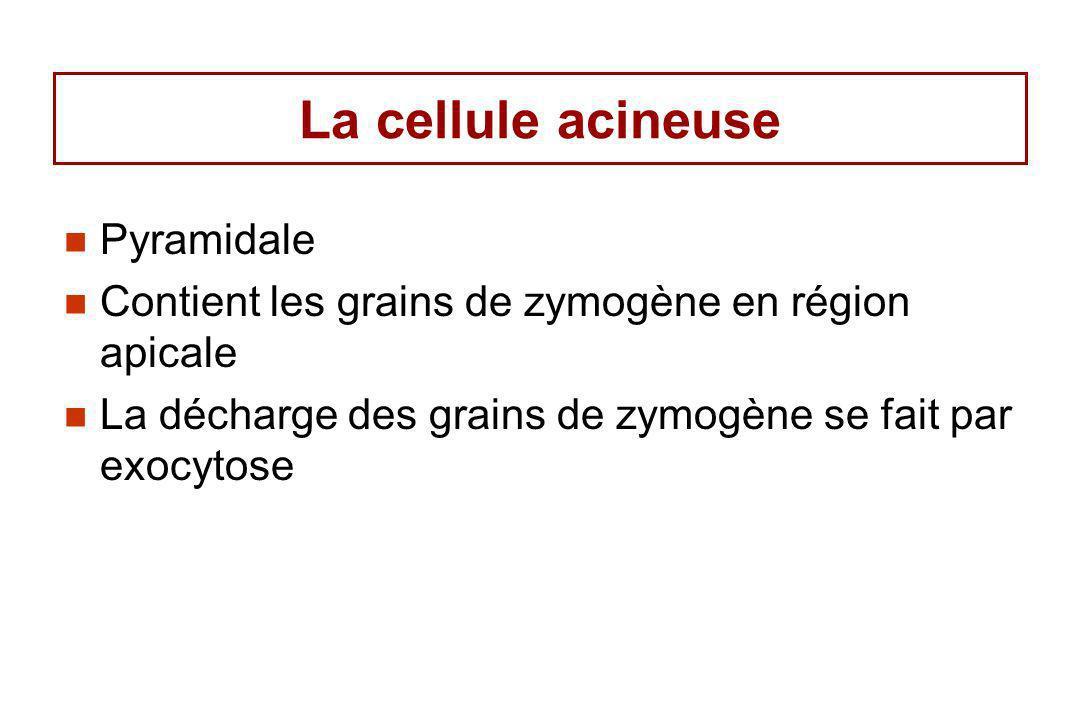 La cellule acineuse Pyramidale Contient les grains de zymogène en région apicale La décharge des grains de zymogène se fait par exocytose
