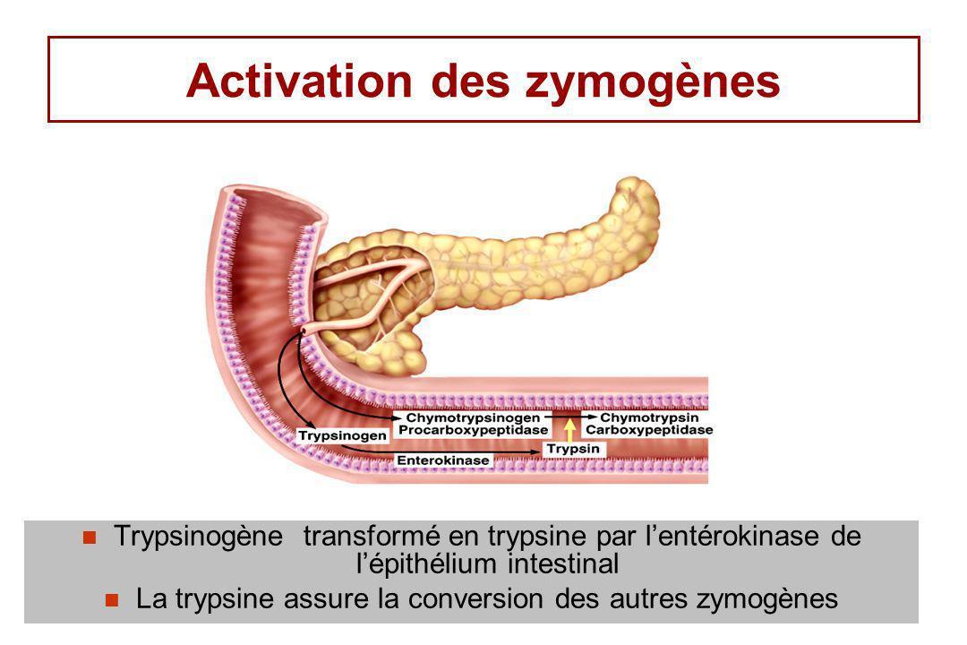 Activation des zymogènes Trypsinogène transformé en trypsine par lentérokinase de lépithélium intestinal La trypsine assure la conversion des autres z