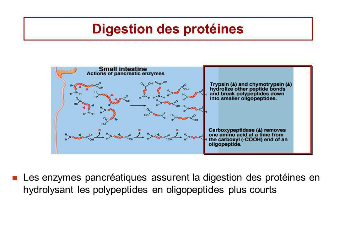 Digestion des protéines Les enzymes pancréatiques assurent la digestion des protéines en hydrolysant les polypeptides en oligopeptides plus courts