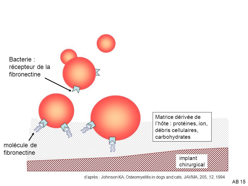 AB 16 implant chirurgical Matrice dérivée de lhôte : protéines, ion, débris cellulaires, carbohydrates Biofilm Slime bactérien : polysaccharides, ions et nutriments anticorps antibiotiques beta-lactamase Colonie de bactéries adhérentes à phenotypes transformés phagocyte B daprès : Johnson KA, Osteomyelitis in dogs and cats, JAVMA, 205, 12, 1994