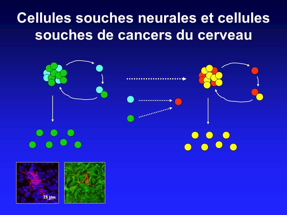 Cellules souches neurales et cellules souches de cancers du cerveau 18 µ m