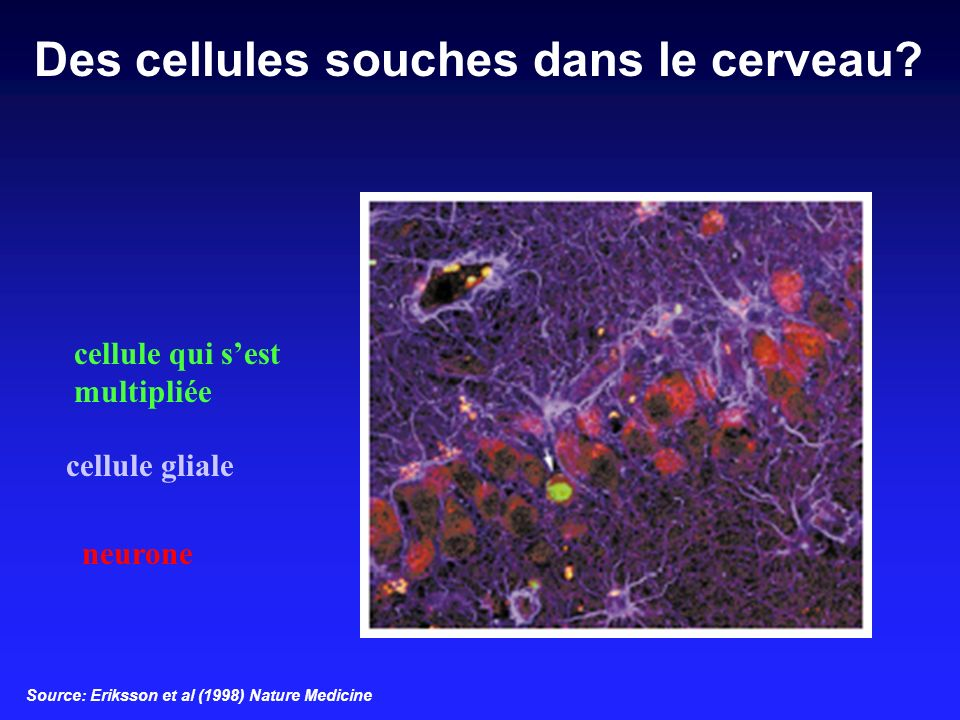 cellule qui sest multipliée cellule gliale neurone Source: Eriksson et al (1998) Nature Medicine