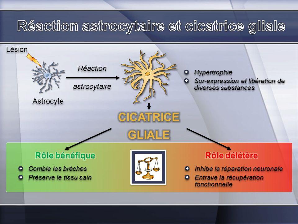 Astrocyte Lésion Hypertrophie Sur-expression et libération de diverses substances Hypertrophie Réaction astrocytaire Réaction astrocytaire Comble les
