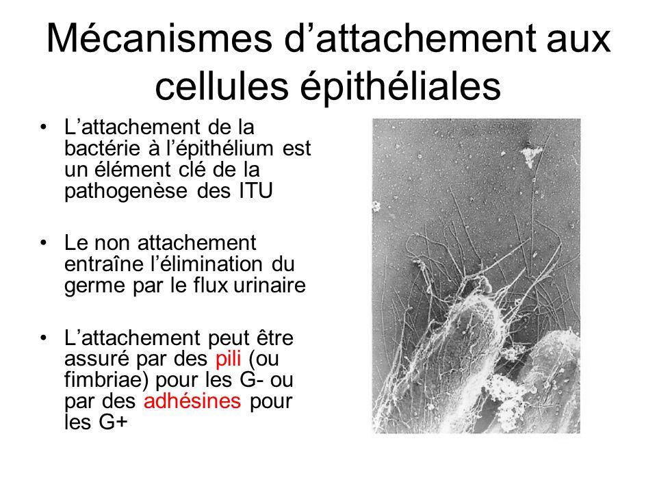 Mécanismes dattachement aux cellules épithéliales Lattachement de la bactérie à lépithélium est un élément clé de la pathogenèse des ITU Le non attach