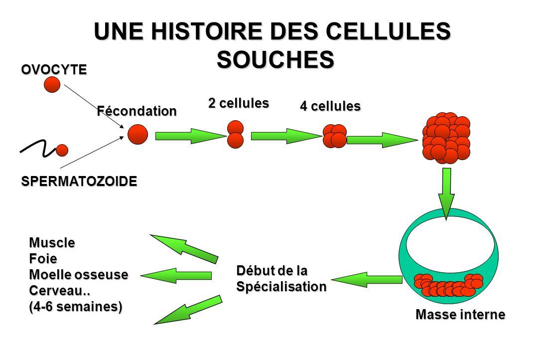 OVOCYTE SPERMATOZOIDE Fécondation UNE HISTOIRE DES CELLULES SOUCHES SOUCHES 2 cellules 4 cellules Masse interne Début de la Spécialisation MuscleFoie