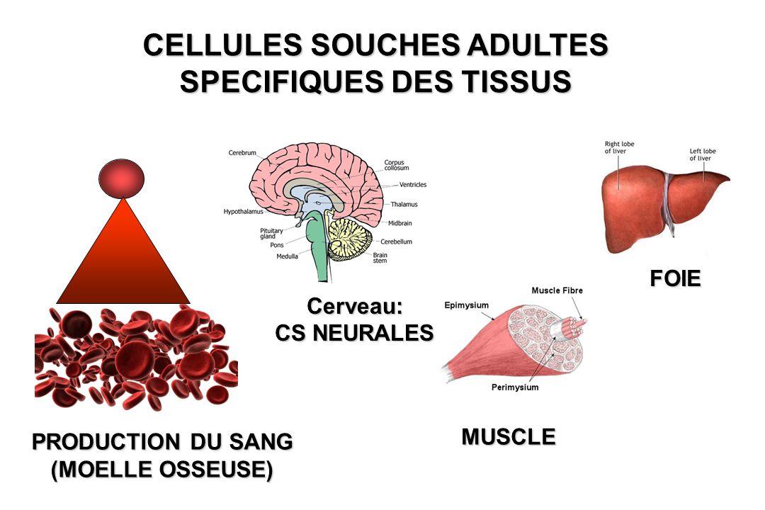 CELLULES SOUCHES ADULTES SPECIFIQUES DES TISSUS PRODUCTION DU SANG (MOELLE OSSEUSE) Cerveau: CS NEURALES MUSCLE FOIE