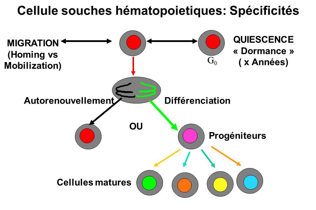 AutorenouvellementDifférenciation Cellule souches hématopoietiques: Spécificités Progéniteurs Cellules matures OU QUIESCENCE « Dormance » ( x Années)