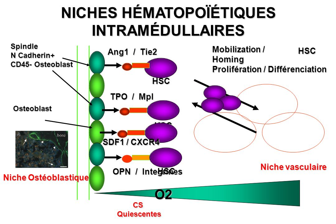 CELLULES SOUCHES DE LA MOELLE OSSEUSE: FABRICATION DES CELLULES DU SANG (HEMATOPOIESE) Cellules souches Globulesrouges Plaquettes Globules blancs blancs