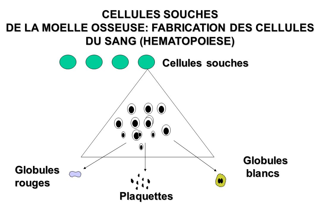CELLULES SOUCHES DE LA MOELLE OSSEUSE: FABRICATION DES CELLULES DU SANG (HEMATOPOIESE) Cellules souches Globulesrouges Plaquettes Globules blancs blan
