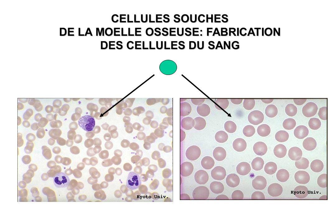 CELLULES SOUCHES HEMATOPOIETIQUES :QUELQUES CHIFFRES Nombre de Globules Rouges produits chez ladulte (70kg) 210 Milliards de cellules /jour Poids moyen adulte: 70 kg adulte: 70 kg ~ 8 Milliards de cellules / heure 140 gr / jour Nombre de cellules / 70 kg: ~10 14