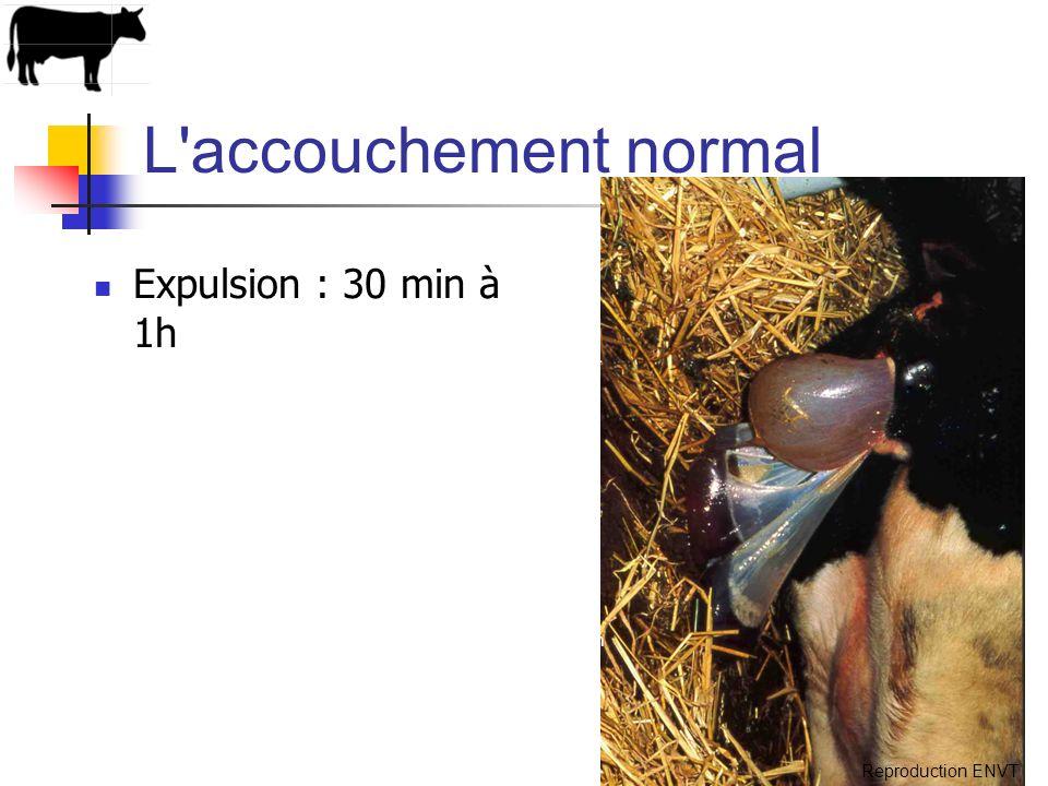 L'accouchement normal Expulsion : 30 min à 1h photo C. Hanzen Reproduction ENVT