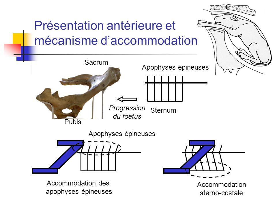 Présentation antérieure et mécanisme daccommodation Sacrum Pubis Apophyses épineuses Sternum Progression du foetus Accommodation des apophyses épineus