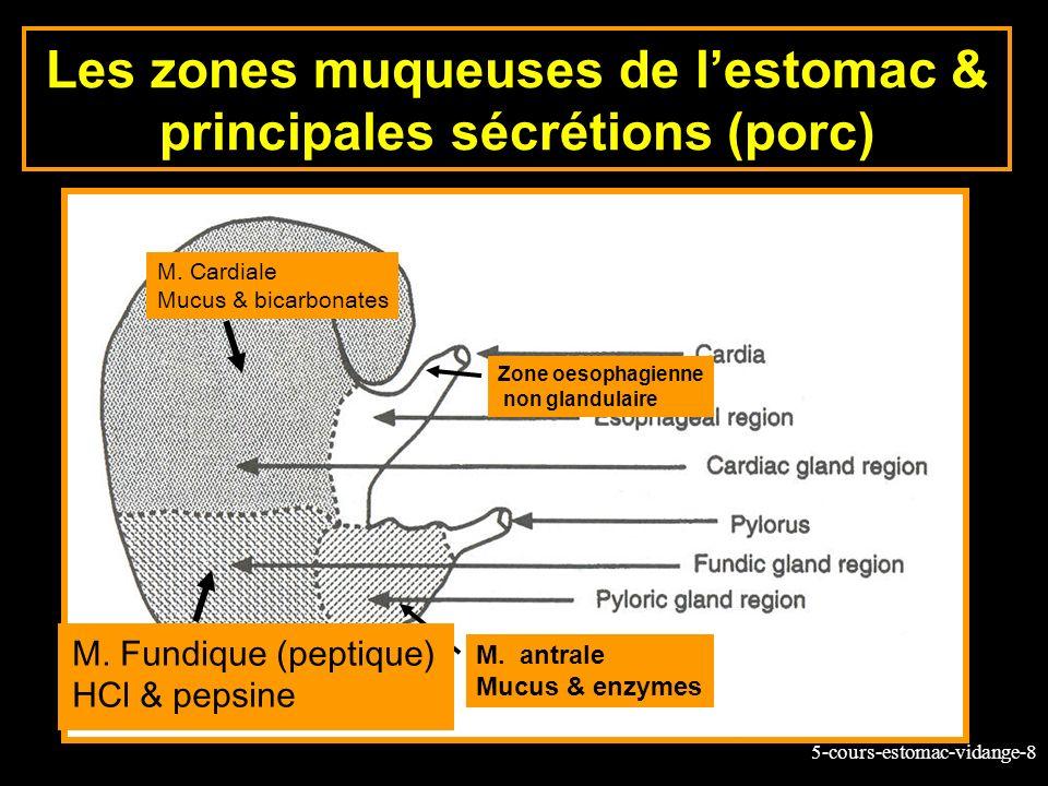 5-cours-estomac-vidange-8 Zone oesophagienne non glandulaire M. antrale Mucus & enzymes Les zones muqueuses de lestomac & principales sécrétions (porc
