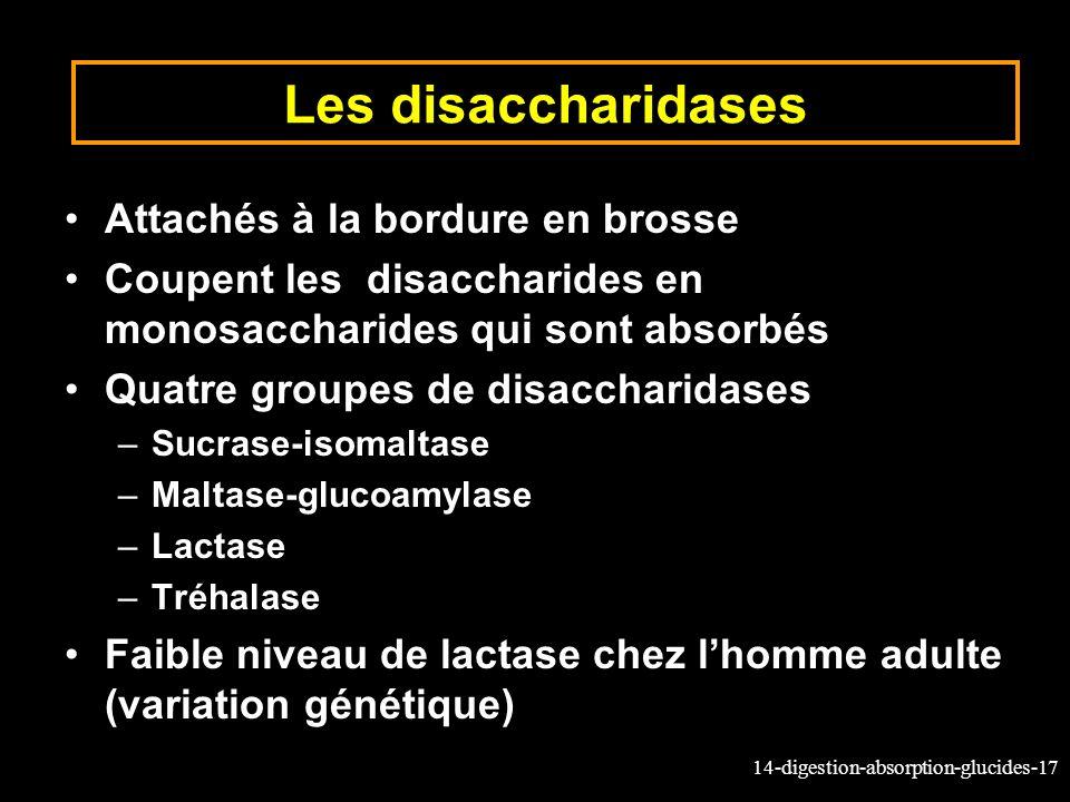 14-digestion-absorption-glucides-17 Les disaccharidases Attachés à la bordure en brosse Coupent les disaccharides en monosaccharides qui sont absorbés