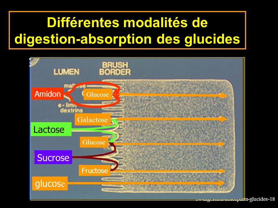 14-digestion-absorption-glucides-18 Différentes modalités de digestion-absorption des glucides glucos e Fructose Sucrose Glucose Lactose Galactose Glu