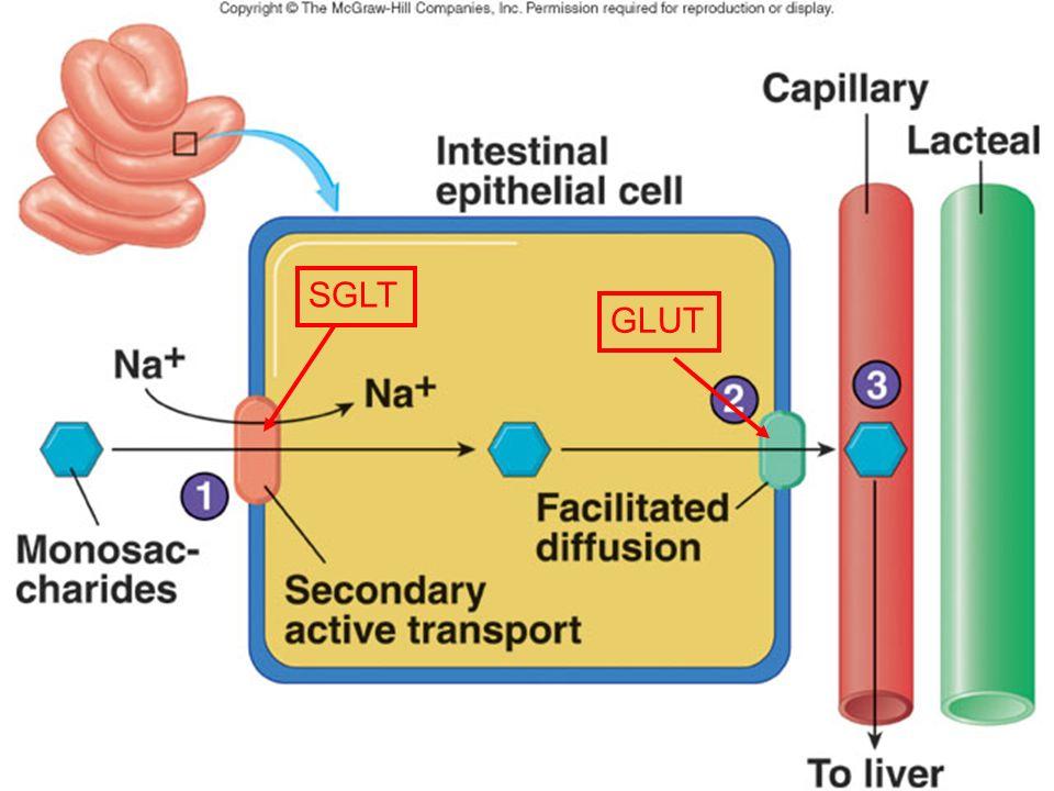 14-digestion-absorption-glucides-24 GLUT SGLT