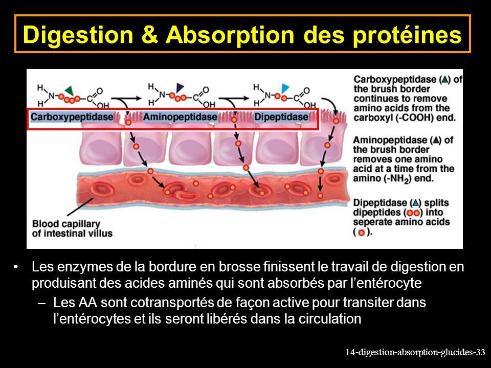 14-digestion-absorption-glucides-33 Digestion & Absorption des protéines Les enzymes de la bordure en brosse finissent le travail de digestion en prod