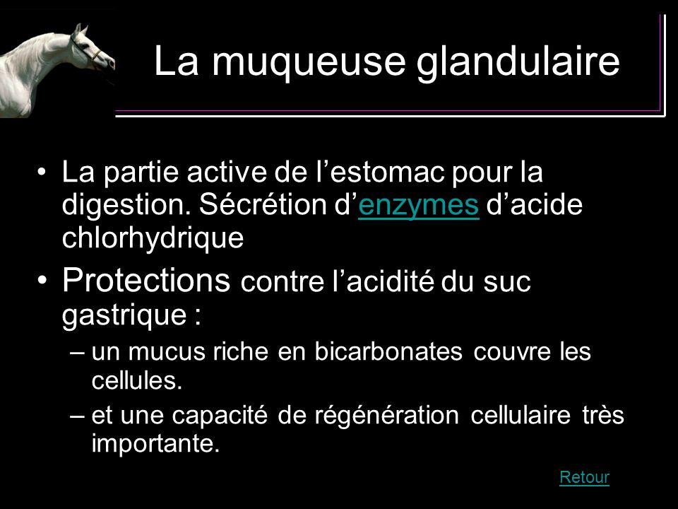 La muqueuse glandulaire La partie active de lestomac pour la digestion. Sécrétion denzymes dacide chlorhydriqueenzymes Protections contre lacidité du