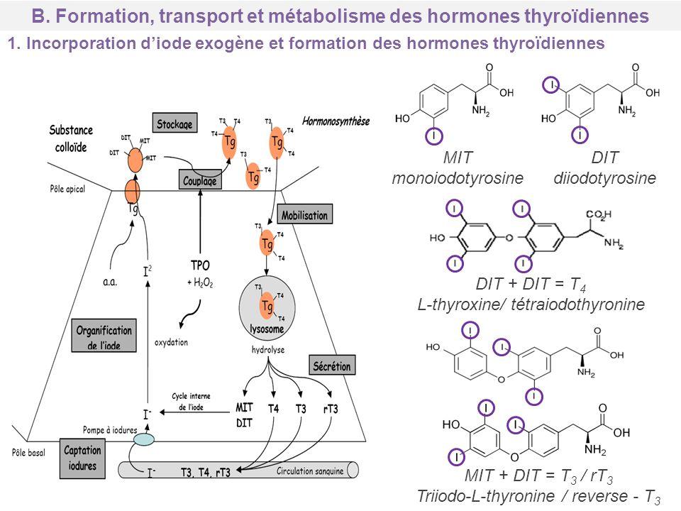 MIT monoiodotyrosine DIT diiodotyrosine DIT + DIT = T 4 L-thyroxine/ tétraiodothyronine MIT + DIT = T 3 / rT 3 Triiodo-L-thyronine / reverse - T 3 B.